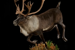 Pro-Taxidermy-Brush-Country-62